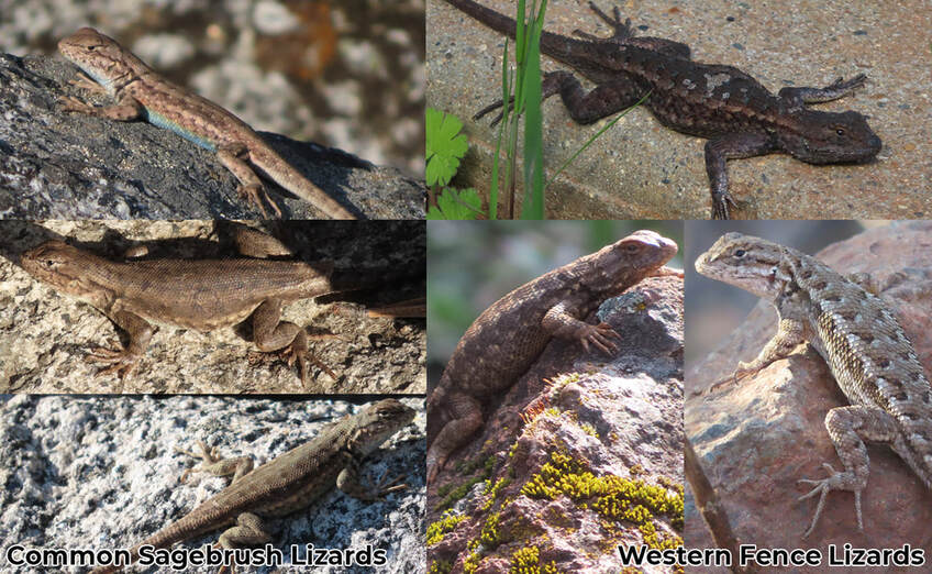 Sagebrush and Fence Lizards with black markings in front of the forelimb