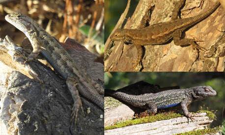 Typically-patterned Western Fence Lizards