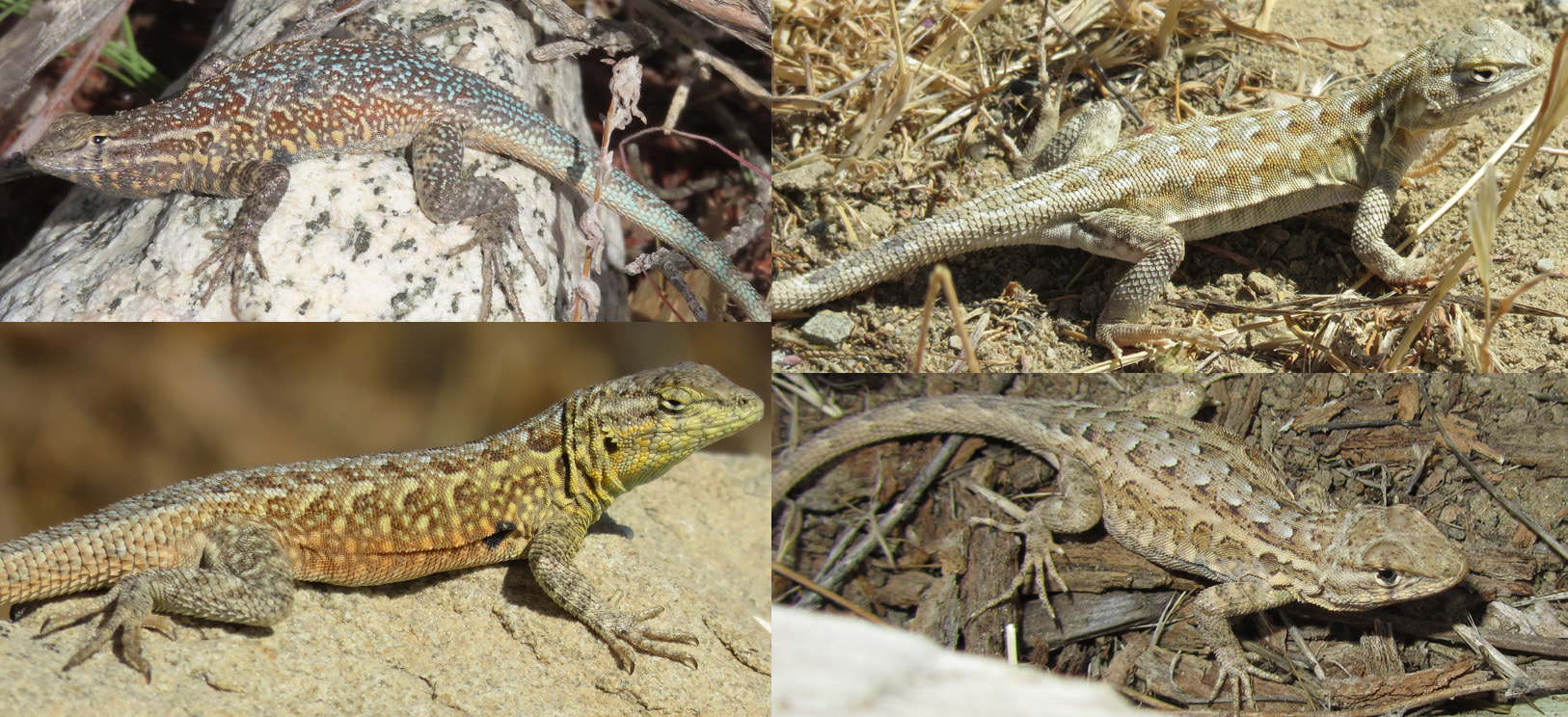 Common Side-Blotched Lizards